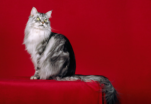 CAT 04 CH0048 01 © Kimball Stock Maine Coon Silver Classic Tabby Sitting In Red Studio