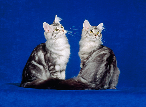 CAT 04 CH0049 01 © Kimball Stock Two Maine Coon Silver Classic Shaded Sitting In Blue Studio