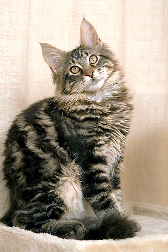 CAT 04 JE0001 01 © Kimball Stock Brown Maine Coon Tabby Kitten Sitting On Cat Post