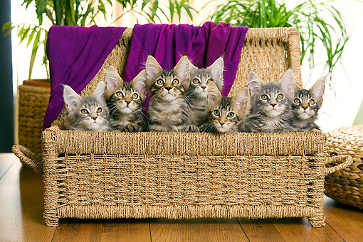 CAT 04 JE0003 01 © Kimball Stock Group Of Maine Coon Kittens Sitting In Basket With Purple Blanket