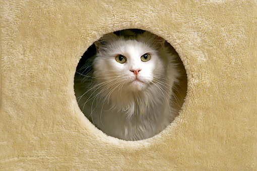 CAT 04 JE0004 01 © Kimball Stock White Maine Coon Cat Peeking Out Of Hole In Cat Post