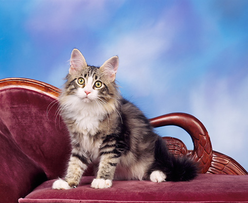 CAT 04 RK0037 08 © Kimball Stock Maine Coon Kitten