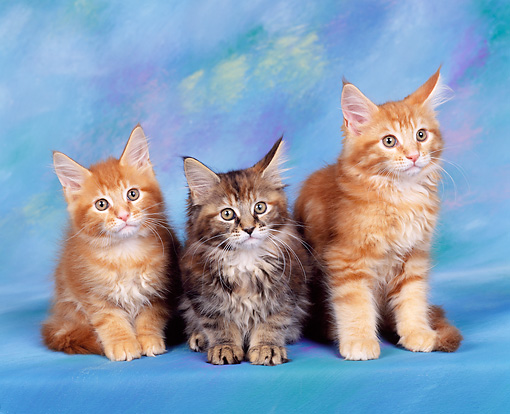 CAT 04 RK0067 01 © Kimball Stock Maine Coon Kittens