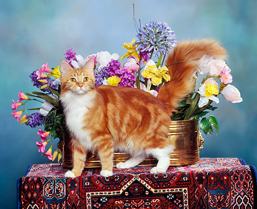 CAT 04 RK0120 04 © Kimball Stock Red Classic Maine Coon Cat Sitting By Flowers Studio