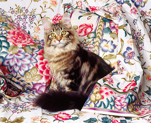 CAT 04 RK0135 01 © Kimball Stock Maine Coon Cat Sitting On Floral Sheet