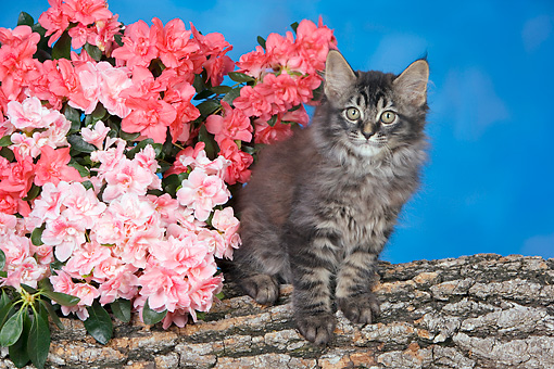 CAT 04 RK0325 01 © Kimball Stock Gray Maine Coon Kitten Sitting On Log By Flowers Studio