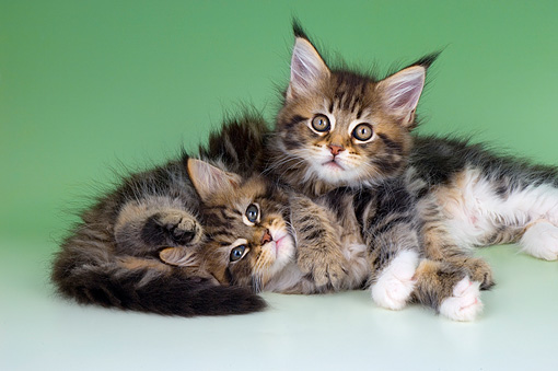 CAT 04 AL0004 01 © Kimball Stock Portrait Of Maine Coon Tabby Kittens Laying Together Studio