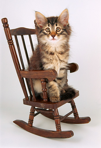 CAT 04 AL0005 01 © Kimball Stock Maine Coon Kitten Sitting In Rocking Chair