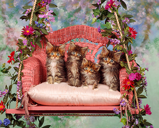 CAT 04 RK0011 03 © Kimball Stock Maine Coon Kittens Sitting On Swing By Flowers