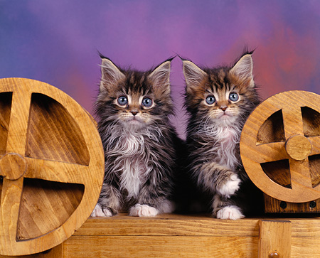 CAT 04 RK0016 07 © Kimball Stock Maine Coon Kittens Sitting   By Wooden Wheels Facing Camera Purple Background