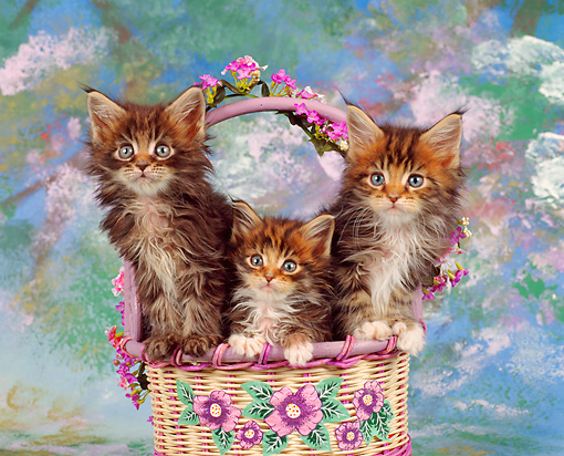 CAT 04 RK0018 02 © Kimball Stock Maine Coon Kittens Sitting In Basket Studio