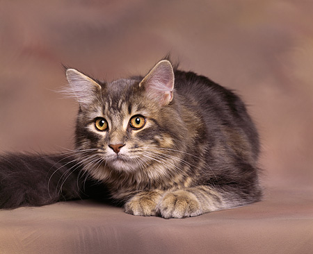 CAT 04 RK0021 06 © Kimball Stock Classic Tabby Laying Brown Background