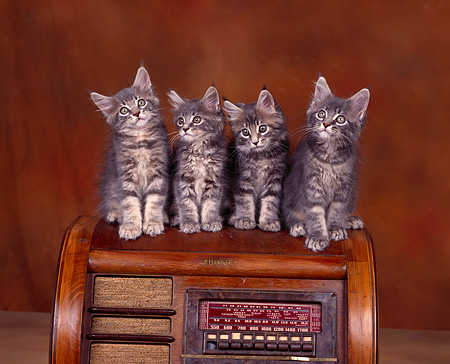 CAT 04 RK0060 03 © Kimball Stock 4 Maine Coon Kittens Sitting On Radio Brownish Background
