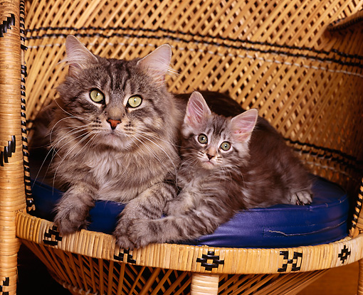 CAT 04 RK0184 01 © Kimball Stock Maine Coon With Kitten Sitting In Wicker Chair Facing Camera