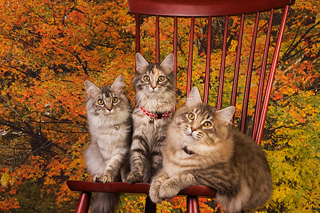 CAT 04 RK0218 01 © Kimball Stock Maine Coon Blue Silver Mackeral Tabby Females, Blue Mackeral Tabby Male On Chair Trees Background