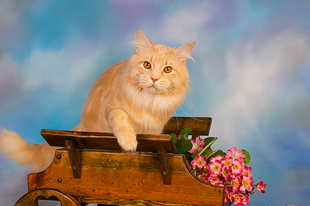 CAT 04 RK0223 01 © Kimball Stock Maine Coon Cream Tabby Male On Flower Cart Blue Sky Studio