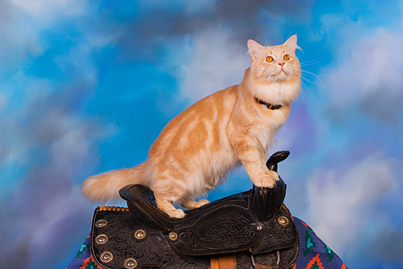 CAT 04 RK0229 01 © Kimball Stock Maine Coon Cream Tabby Male On Horse Saddle Blue Sky