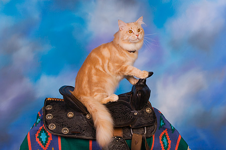 CAT 04 RK0230 01 © Kimball Stock Maine Coon Cream Tabby Male On Horse Saddle Blue Sky