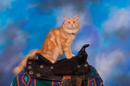CAT 04 RK0234 01 © Kimball Stock Maine Coon Cream Tabby Male Sitting On Saddle