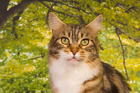 CAT 04 RK0237 01 © Kimball Stock Maine Coon Brown Tabby And White Female Head Shot Trees Background