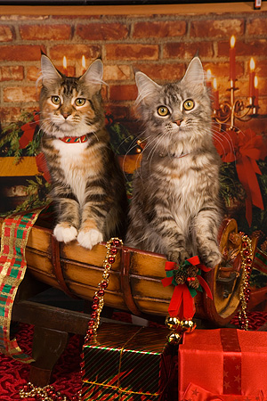 CAT 04 RK0248 01 © Kimball Stock Maine Coon Brown Patch Tabby And White Female, Silver Patch Tabby And White Female Christmas