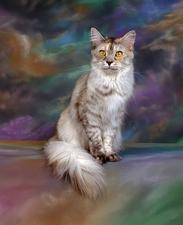 CAT 04 RK0320 03 © Kimball Stock Maine Coon Silver Mackeral Torbie Sitting Mottled Background