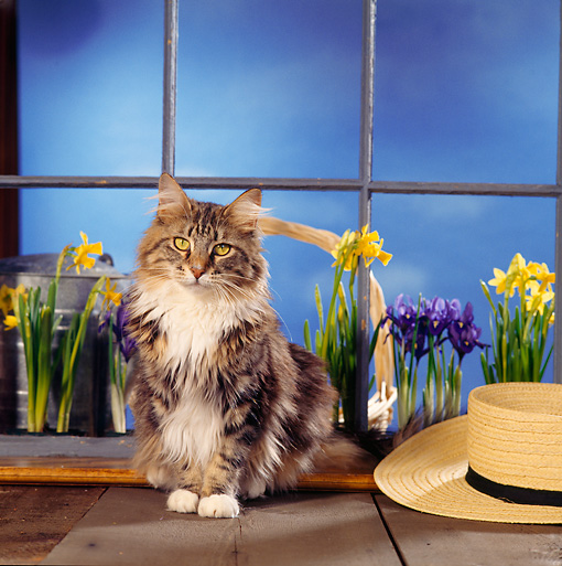CAT 04 RS0030 02 © Kimball Stock Portrait Of Maine Coon Cat Sitting By Flowers