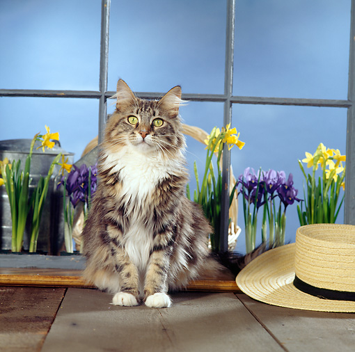 CAT 04 RS0030 03 © Kimball Stock Portrait Of Maine Coon Cat Sitting By Flowers