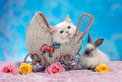 CAT 06 RC0001 01 © Kimball Stock Head Shot Of White Kitten Laying In Wicker Stroller With White And Gray Rabbit Flowers