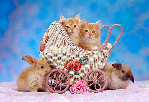 CAT 06 RC0002 01 © Kimball Stock Two Red Tabby Kittens Sitting In Wicker Stroller With Two Brown Rabbits Flower