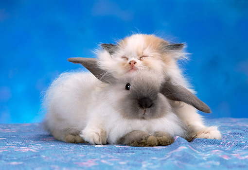 CAT 06 RC0014 01 © Kimball Stock Longhair Calico Kitten Sleeping On Head Of White And Gray Rabbit On Blue Studio