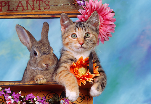 CAT 06 RK0008 17 © Kimball Stock Calico Kitten And Gray Rabbit Sitting Together In Planter By Flowers Mottled Background