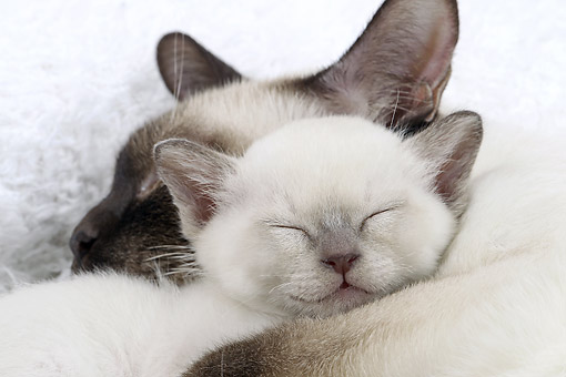 CAT 07 JE0006 01 © Kimball Stock Close-Up Of Tonkinese Cat And Kitten Sleeping On White Blanket