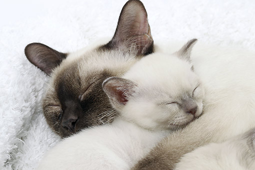 CAT 07 JE0007 01 © Kimball Stock Close-Up Of Tonkinese Cat And Kitten Sleeping On White Blanket