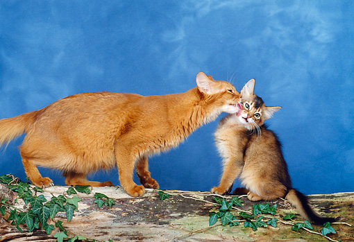 CAT 07 KH0003 01 © Kimball Stock Somali Cat Licking Kitten On Log In Studio
