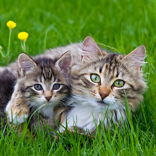 CAT 07 KH0010 01 © Kimball Stock Portrait Of Tabby Cat And Kitten Laying In Grass And Buttercups France
