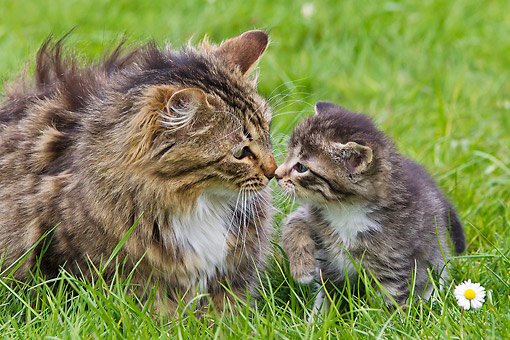 CAT 07 KH0011 01 © Kimball Stock Portrait Of Tabby Cat And Kitten Nose To Nose In Grass France