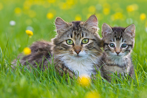 CAT 07 KH0013 01 © Kimball Stock Portrait Of Tabby Cat And Kitten Laying In Grass And Buttercups France