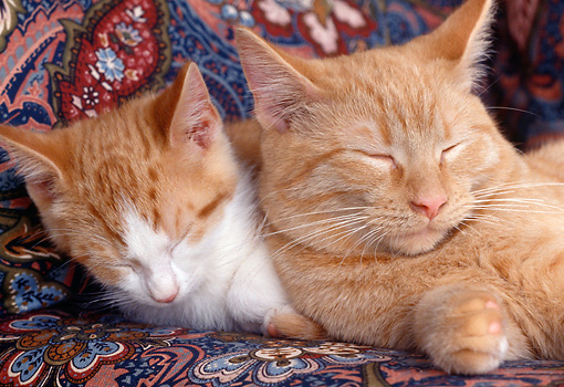 CAT 07 GR0001 01 © Kimball Stock Red And White Tabby Kitten And Red Tabby Cat Sleeping On Chair