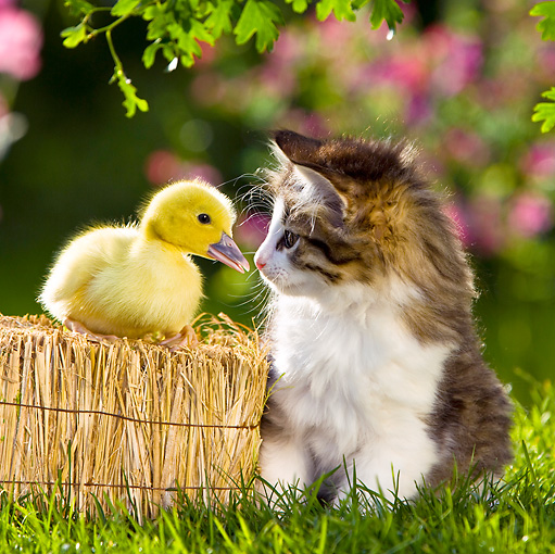 CAT 08 KH0007 01 © Kimball Stock Tabby Kitten Sitting Face To Face With Duckling On Straw