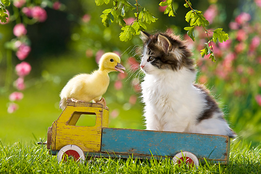 CAT 08 KH0011 01 © Kimball Stock Black And White Tabby Kitten Sitting On Toy Truck With Duckling