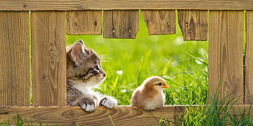 CAT 08 KH0017 01 © Kimball Stock Tabby And White Kitten Sitting Next To Chick In Opening Of Fence