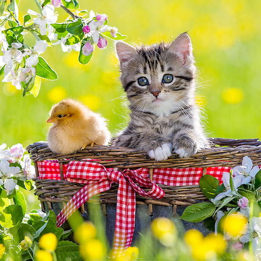 CAT 08 KH0018 01 © Kimball Stock Tabby And White Kitten Sitting In Picnic Basket With Chick By Apple Blossoms