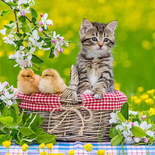 CAT 08 KH0019 01 © Kimball Stock Tabby And White Kitten Sitting In Picnic Basket With Two Chicks By Apple Blossoms