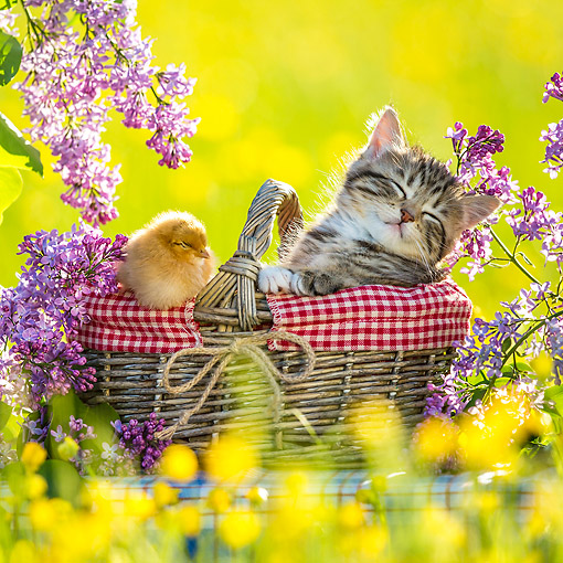 CAT 08 KH0020 01 © Kimball Stock Tabby Kitten Sleeping In Picnic Basket With Chick By Lilac Flowers
