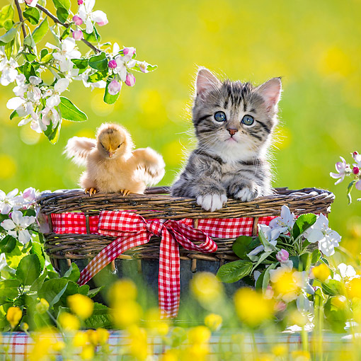 CAT 08 KH0021 01 © Kimball Stock Tabby Kitten Sitting In Picnic Basket With Chick By Apple Blossoms
