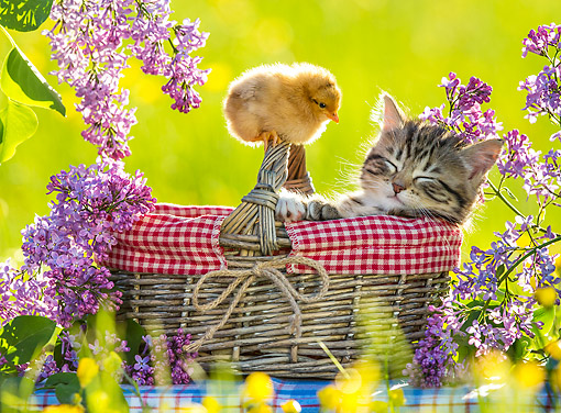 CAT 08 KH0022 01 © Kimball Stock Tabby Kitten Sleeping In Picnic Basket With Chick By Lilac Flowers