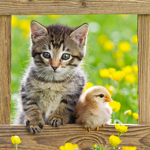 CAT 08 KH0023 01 © Kimball Stock Tabby Kitten Sitting In Opening Of Fence With Chick By Buttercups