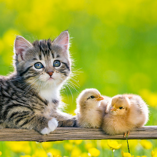 CAT 08 KH0024 01 © Kimball Stock Tabby Kitten Laying On Bench With Two Chicks By Buttercups
