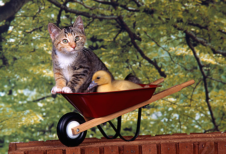 CAT 08 RK0002 03 © Kimball Stock Calico Kitten And Duckling Laying Together In Wheelbarrel Trees Background